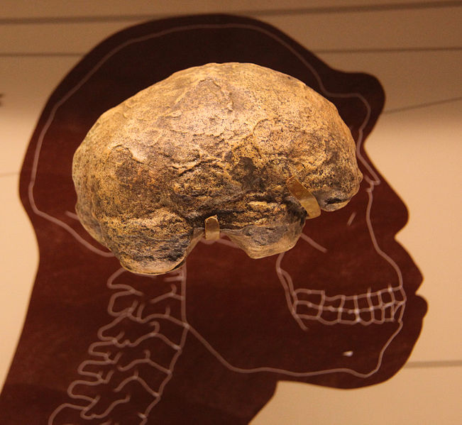Homo erectus endocast (braincast) (photo copyright Tim Evanson 2012)